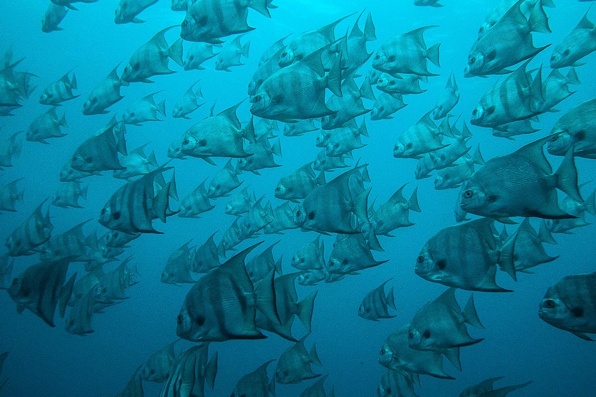 Platax petit voilier, Martinique
