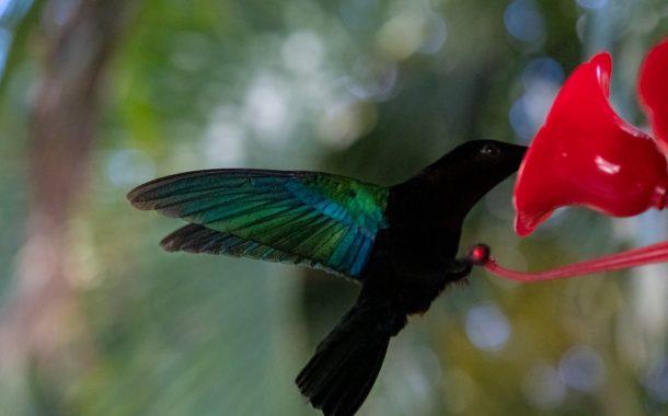 Zazi le Colibri