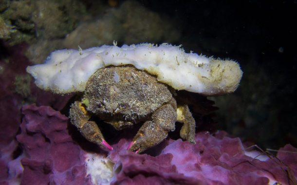 Eugène le crabe