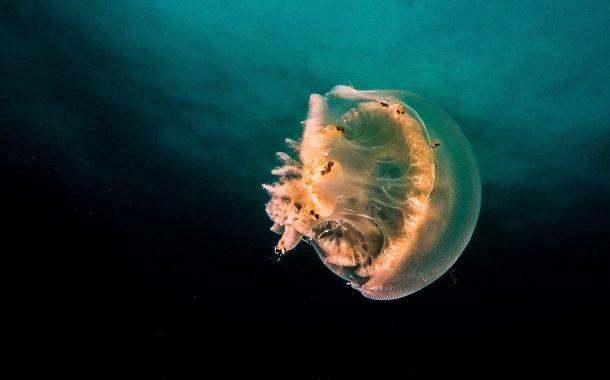 Tom la meduse