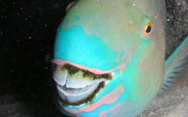 Le poisson Perroquet